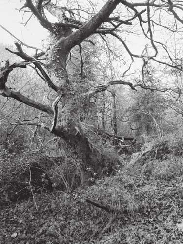 Oak in Blackaton Wood