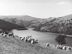 Sheep feeding beside the reservoir